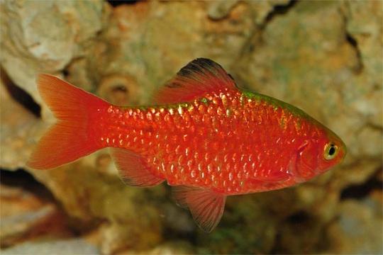 Barbus conchonius néon (Puntius) - L