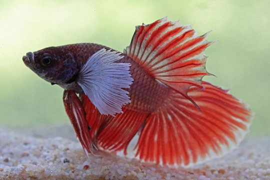 Betta mâle halfmoon élephant - XL