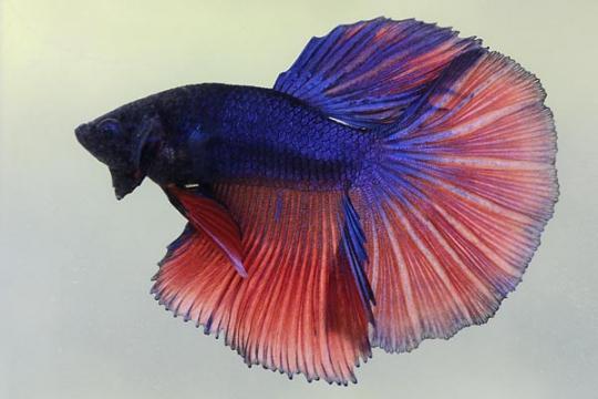 Betta mâle halfmoon varié - XL