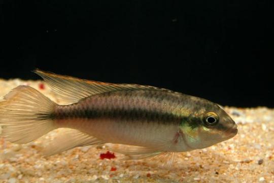 Pelvicachromis pulcher - 4-5.