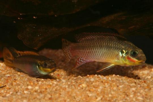 Pelvicachromis taeniatus nigeria rouge - 4-5.