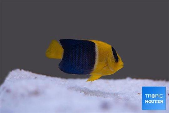 Centropyge bicolor élevage 2-4 cm