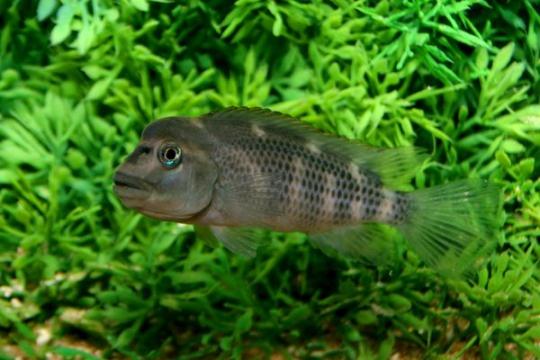 Steatocranus casuarius - 3-4.
