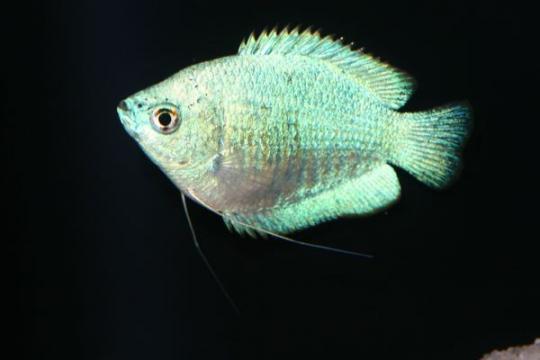Colisa lalia bleu (femelle) - L
