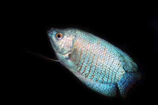 Colisa lalia bleu (mâle) - L