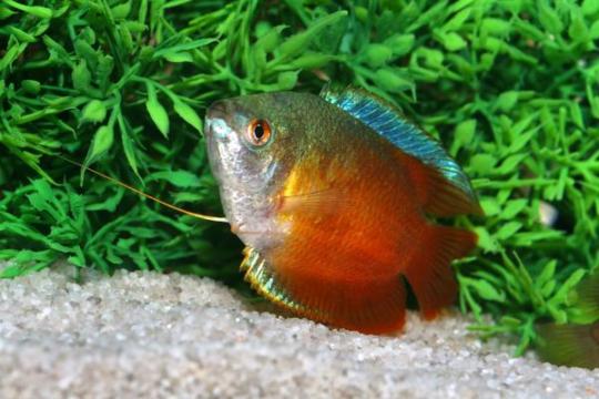 Colisa lalia néon rouge (mâle) - L