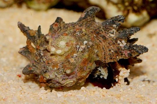 Escargot nettoyeur Angaria - XL