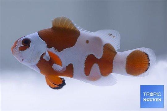Amphiprion ocellaris moscha orange storm élevage 3-4 cm