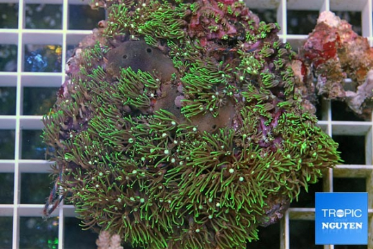 Pachiclavularia Vert - L