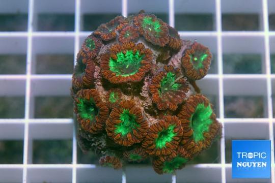 Blastomussa Wellsi rouge /vert - 7-9 polypes