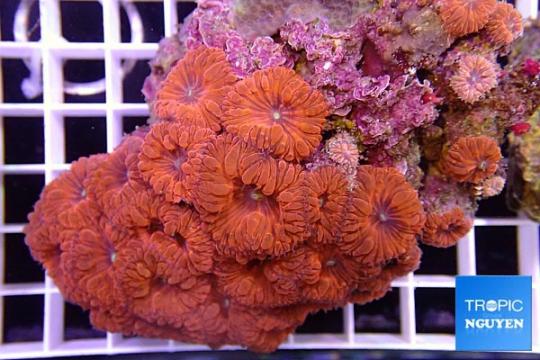 Blastomussa Wellsi rouge et vert - 25 polypes