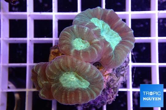 Caulestrea Furcata elevage - 2-3 polypes