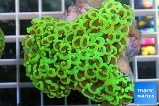 Euphyllia Ancora vert - M