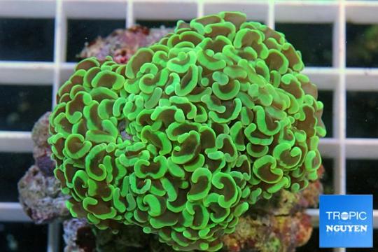 Euphyllia Ancora vert super - M