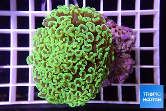Euphyllia Ancora vert super - L