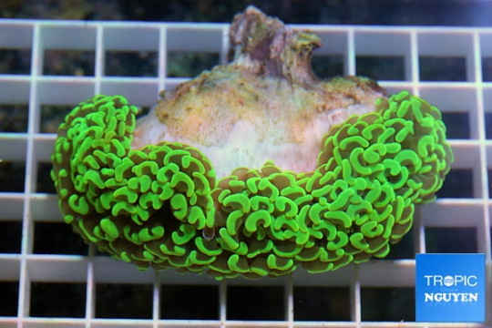 Euphyllia Vert super - L
