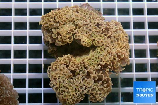 Euphyllia orange - L