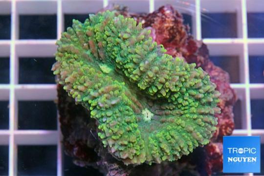 Lobophyllia Coloré - SM