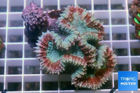 Lobophyllia vert et rouge - M