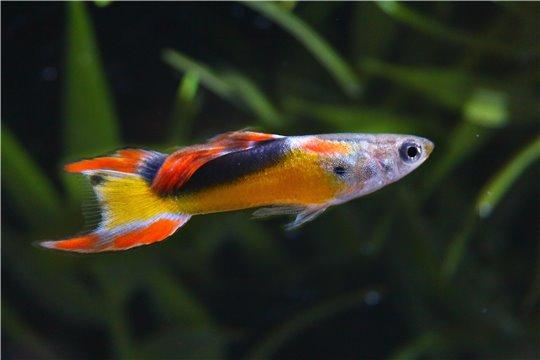 Guppy mâle endler golden jet 1-2 cm