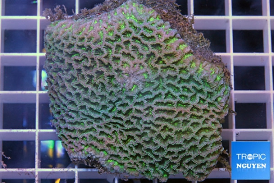 Platygyra bicolor sp - M