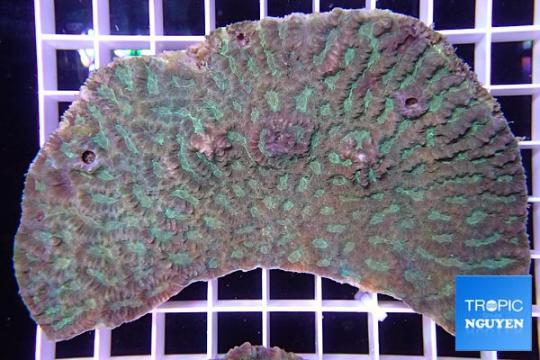 Platygyra bicolor sp - L