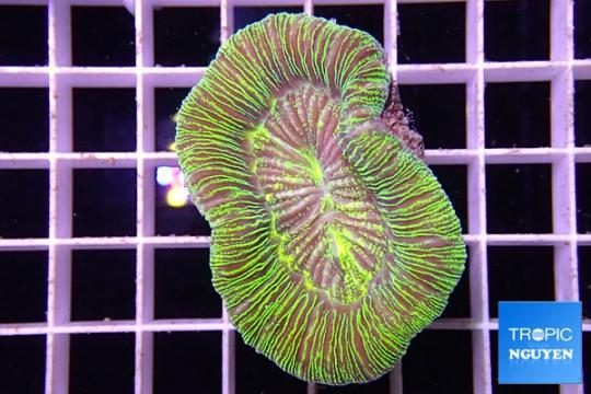 Trachyphyllia Geofroyi vert - L