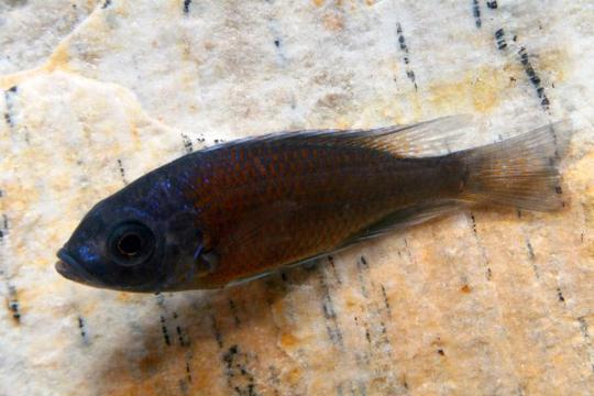 Copadichromis borleyi red fin - 6-8.