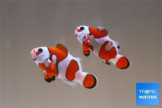 Amphiprion orange storm élevage le couple 4-5 cm WYSIWYG acclimaté