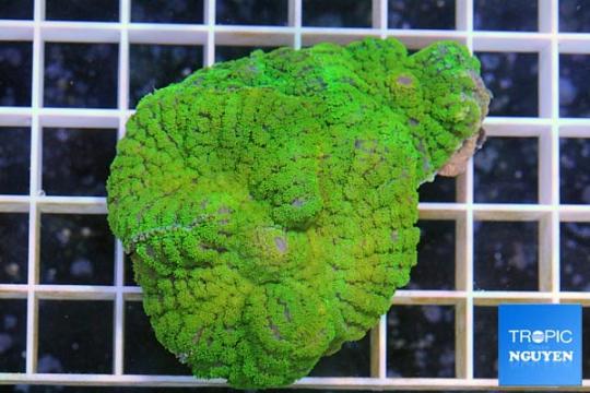 Actinodiscus marmoratus Vert - SM