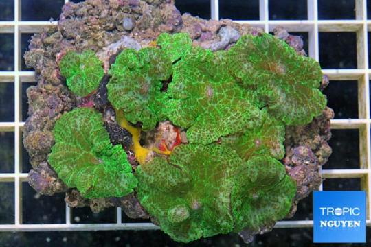 Actinodiscus marmoratus Vert - L