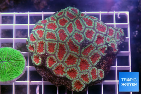 Acanthastrea lordhowensis ultra - 7-9