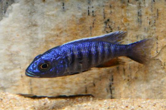 Sciaenochromis ahli - 6-8.