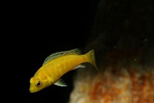 Labidochromis caeruleus - 3-4.