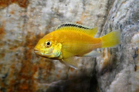Labidochromis caeruleus (mâle) - 8-10.