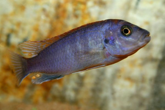 Labidochromis hongi red top - 4-5.