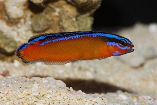 Pseudochromis Aldabraensis elevage - M