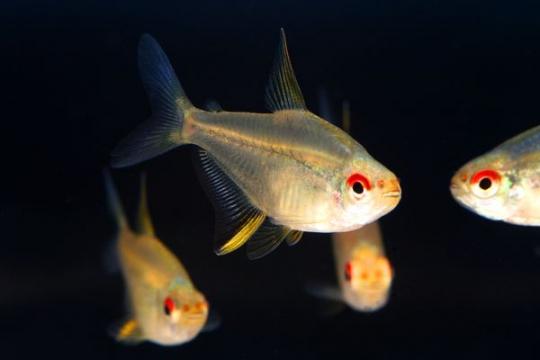 Hyphessobrycon pulchripinnis - M