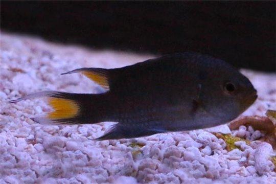 Neopomacentrus Taeniurus 2-4 cm