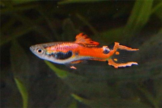 Guppy mâle endler red 1-2 cm