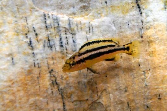 Melanochromis chipokae - 4-5.