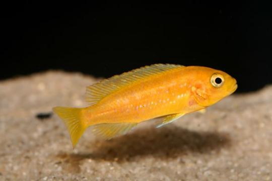 Melanochromis johanni - 4-5.