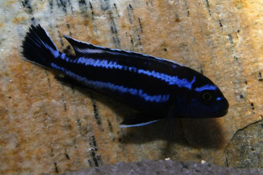 Melanochromis johanni maingano - 4-5.