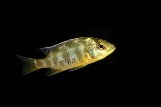 Nimbochromis venustus - 5-6.