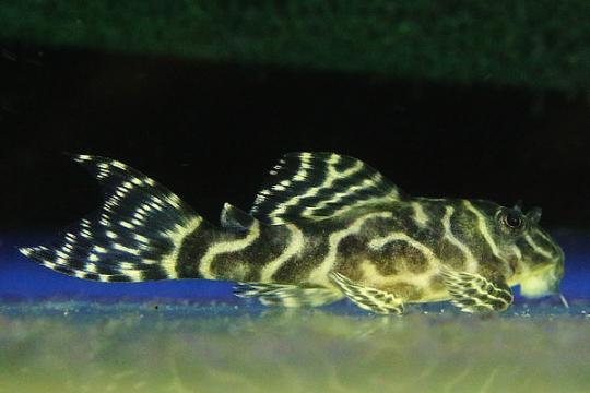 L401 Hypancistrus gold line élevage - 4-6.