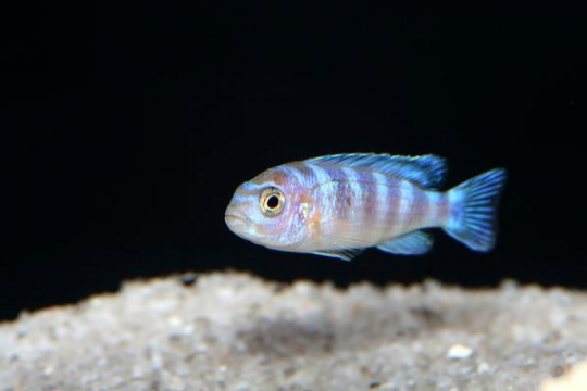 Pseudotropheus lombardoi - 4-5.