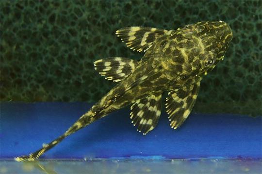 L001 Glyptopterichthys sp. élevage - 5-6.