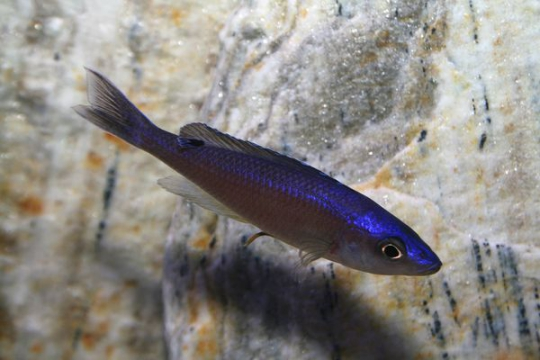 Cyprichromis leptosoma malasa - 4-5.