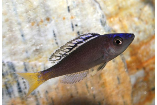 Cyprichromis leptosoma mpulungu - 6-8.