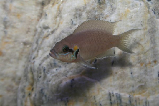 Neolamprologus brichardi - 3-4.